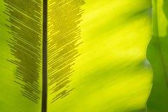 与孢子线的绿色叶状体 库存图片