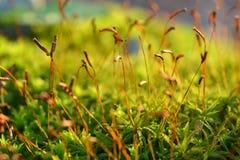 与孢子胶囊的森林青苔 库存图片
