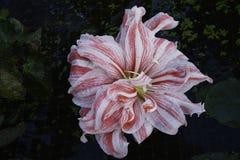 与孤挺花的静物画在庭院设置开花 图库摄影