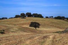 与孤立橄榄树的农村风景在小山 图库摄影