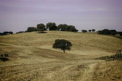 与孤立橄榄树的农村风景在小山 库存照片