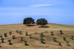 与孤立橄榄树的农村风景在小山 免版税库存图片