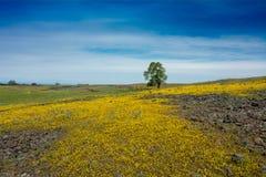 与孤立橡树和黄色wil的北部表山风景 库存照片