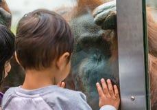 与孩子的动物园猩猩 库存照片