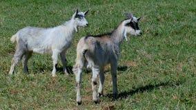 与孩子的山羊在草坪吃草在农场 股票视频