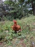 与孩子的鸡 库存图片