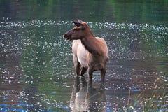 与它的一头幼小小牛` s反射在水中 免版税库存照片