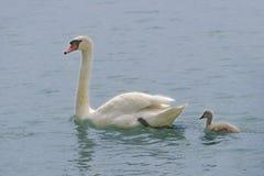 与它的刚孵出的雏的疣鼻天鹅在水 库存照片