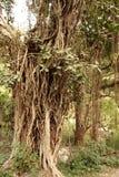 与它的大印度榕树气生根 免版税库存图片