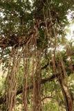 与它的大印度榕树气生根 库存图片