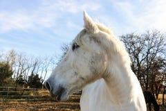 与它的头的白马在背景中转向了边在牧场地与黑马和树 免版税库存图片