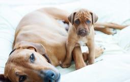 与它的妈妈的Rhodesian Ridgeback小狗 免版税库存照片