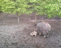 与它的婴孩的母亲公猪在南摩拉维亚森林里  库存照片