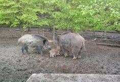 与它的婴孩的母亲公猪在南摩拉维亚森林里  免版税库存图片