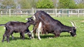 与它的孩子的布朗山羊 免版税库存照片