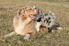 与它的小狗的美丽的澳大利亚牧羊犬 免版税库存照片