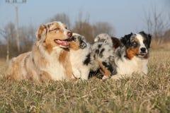 与它的小狗的美丽的澳大利亚牧羊犬 库存图片
