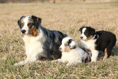 与它的小狗的美丽的澳大利亚牧羊犬 免版税图库摄影