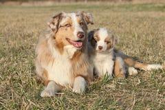 与它的小狗的美丽的澳大利亚牧羊犬 免版税库存图片