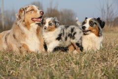 与它的小狗的美丽的澳大利亚牧羊犬 图库摄影