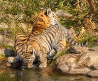 与它的小猫的Ussurian老虎 免版税库存图片