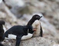 与它的小鸡的休息的Rockhopper企鹅 免版税库存图片