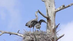 与它的小鸡的伟大蓝色的苍鹭的巢 影视素材