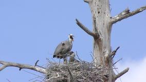 与它的小鸡的伟大蓝色的苍鹭的巢 股票视频