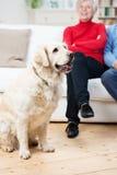 与它的所有者的忠诚的金毛猎犬狗 免版税库存照片