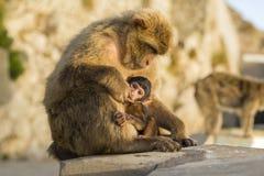 与它的母亲的一只婴孩巴巴里人猴子在直布罗陀 库存图片