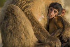 与它的母亲的一只婴孩巴巴里人猴子在直布罗陀 库存照片