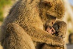 与它的母亲的一只婴孩巴巴里人猴子在直布罗陀 免版税库存图片
