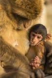 与它的母亲的一只婴孩巴巴里人猴子 图库摄影