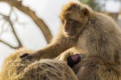 与它的母亲的一只婴孩巴巴里人猴子 库存照片