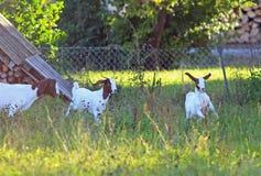 与它的母亲的两只小的山羊牧场地的 免版税图库摄影