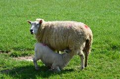 与它的母亲的新出生的春天羊羔。 库存照片