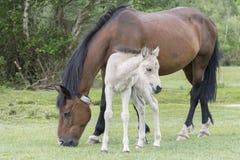 与它的母亲的新的森林小马驹 免版税图库摄影