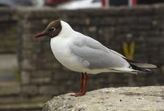 与它的特别标号和红色腿的一只共同的黑朝向的鸥 这个种类是非常共同的在英国Isl的所有部分 库存图片