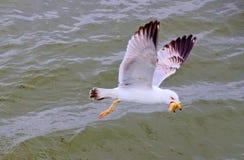 与它的牺牲者的一只资本家海鸥 库存照片