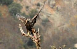 与它的牺牲者的一只鹫 免版税图库摄影