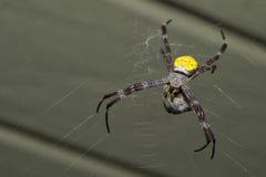 与它的牺牲者的热带蜘蛛 免版税库存图片