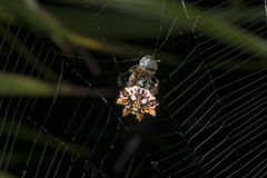 与它的牺牲者的热带蜘蛛 免版税库存照片