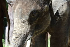 与它的皮肤的大象面孔 免版税库存图片