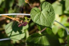与它的眼睛光感受器和鼻子visi的一只美丽的蜻蜓 库存图片