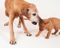 与它的祖母的Rhodesian Ridgeback小狗 库存照片