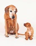 与它的祖母的Rhodesian Ridgeback小狗 免版税库存照片