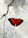 与它的红色翼的一只美丽的蝴蝶 免版税库存图片