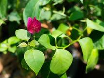 与它的美丽的唯一可爱的桃红色九重葛花在一个春季的绿色叶子在一个植物园 免版税图库摄影