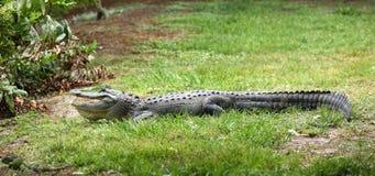 与它的美国短吻鳄开放` s的嘴 库存图片