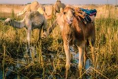 与它的舌头的一头骆驼 免版税库存照片